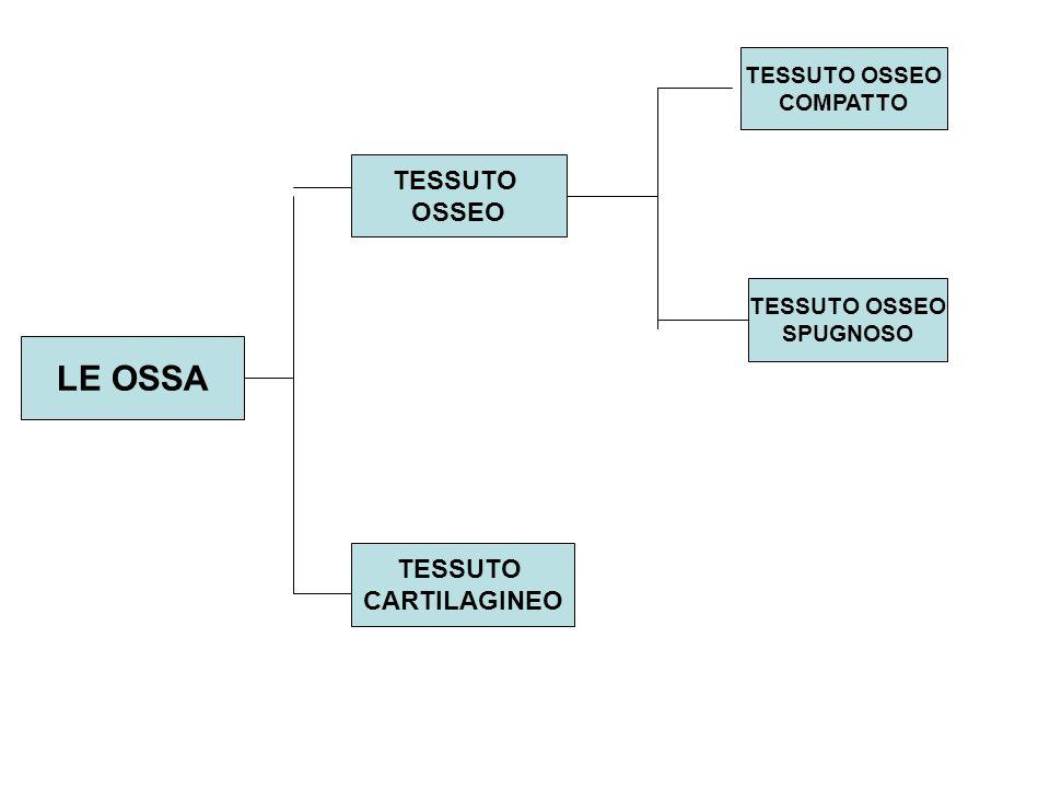 LE OSSA TESSUTO OSSEO TESSUTO CARTILAGINEO TESSUTO OSSEO COMPATTO TESSUTO OSSEO SPUGNOSO