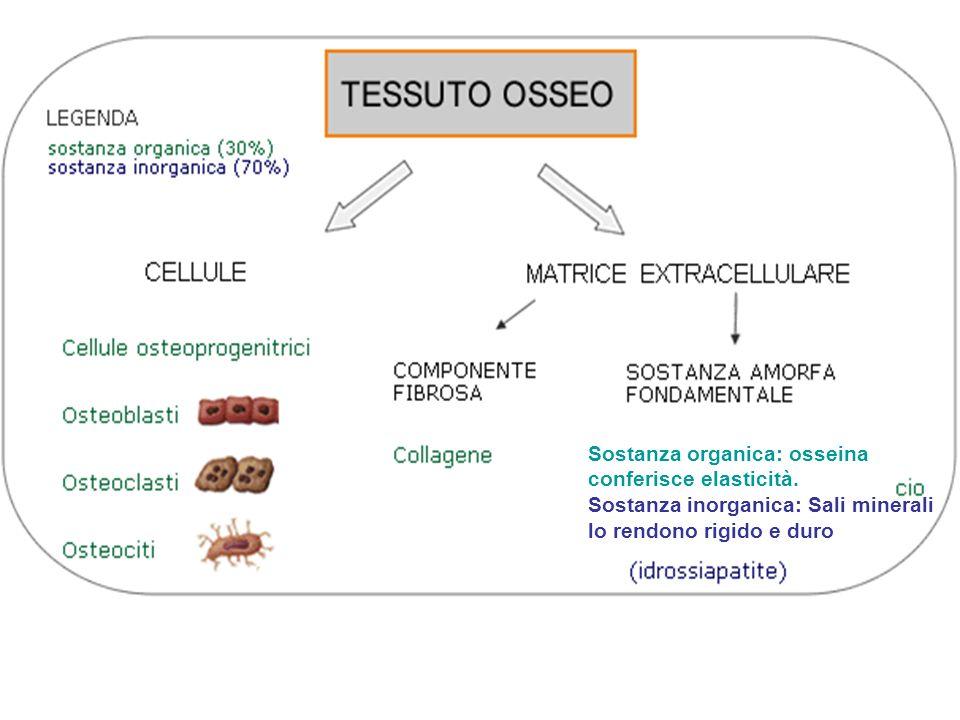 Sostanza organica: osseina conferisce elasticità.