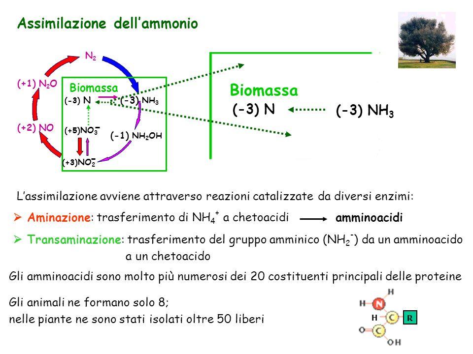 Assimilazione dellammonio Lassimilazione avviene attraverso reazioni catalizzate da diversi enzimi: Aminazione: trasferimento di NH 4 + a chetoacidi a