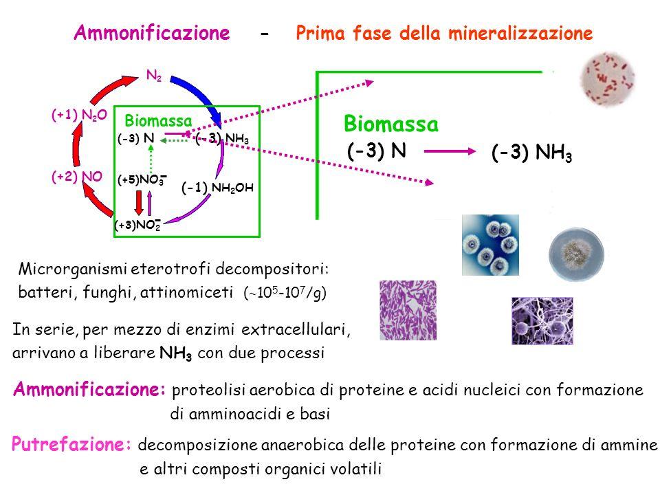 Ammonificazione - Prima fase della mineralizzazione (+1) N 2 O (+2) NO N2N2 Biomassa (-3) N (-3) NH 3 (+3) NO 2 (+5) NO 3 (-1) NH 2 OH (-3) NH 3 Bioma