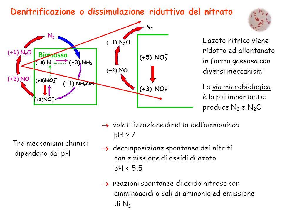 Denitrificazione o dissimulazione riduttiva del nitrato (+1) N 2 O (+2) NO N2N2 Biomassa (-3) N (-3) NH 3 (+3) NO 2 (+5) NO 3 (-1) NH 2 OH (+1) N 2 O