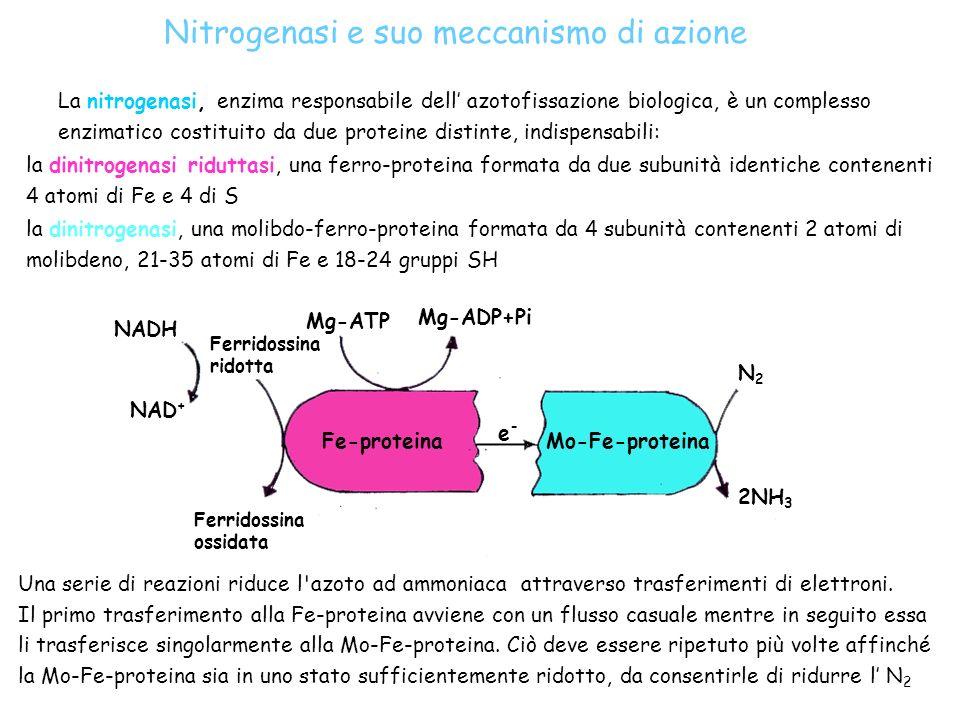 Fe-proteinaMo-Fe-proteina N2N2 2NH 3 Mg-ADP+Pi Mg-ATP NADH NAD + Ferridossina ossidata Ferridossina ridotta e-e- La nitrogenasi, enzima responsabile d