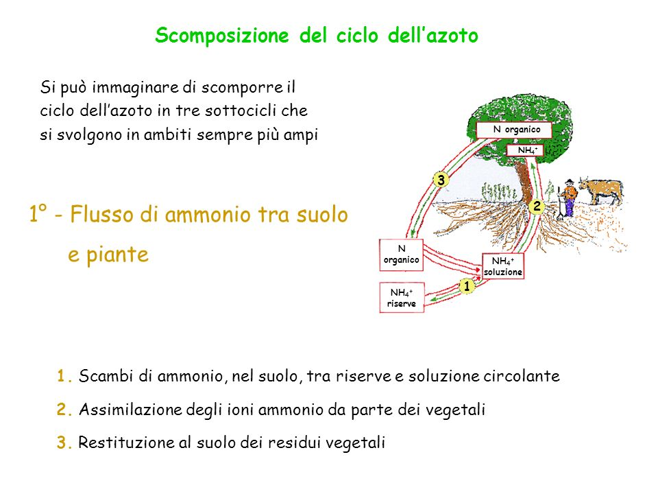 N organico NH 4 + riserve NH 4 + soluzione NH 4 + N organico 1 2 3 1. Scambi di ammonio, nel suolo, tra riserve e soluzione circolante 2. Assimilazion