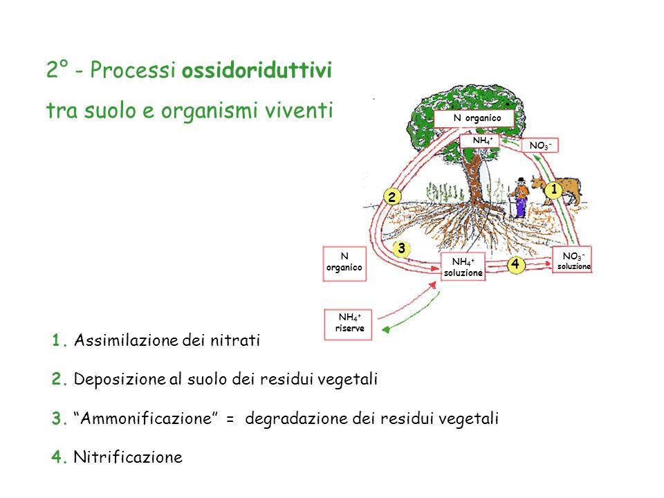 N organico NH 4 + riserve NH 4 + soluzione NH 4 + N organico NO 3 - soluzione NO 3 - 1 3 4 2 4. Nitrificazione 1. Assimilazione dei nitrati 2. Deposiz