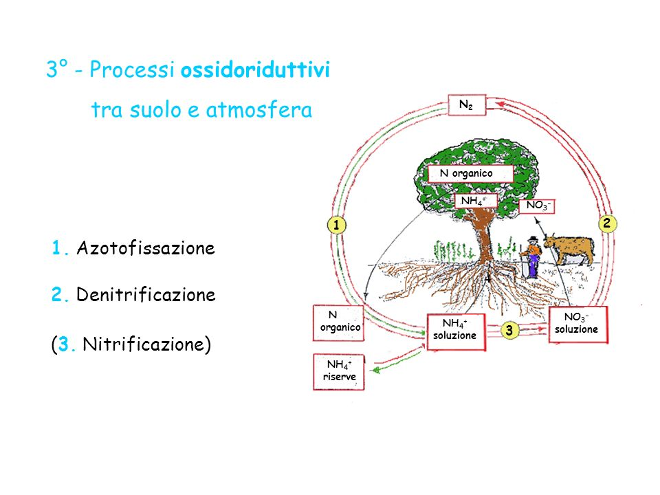N organico NH 4 + riserve NH 4 + N organico NO 3 - 3 4 1 2 NH 4 + soluzione N 2 NO 3 - soluzione 1. Azotofissazione (3. Nitrificazione) 2. Denitrifica