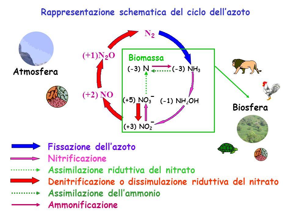 Rappresentazione schematica del ciclo dellazoto Assimilazione riduttiva del nitrato Assimilazione dellammonio Ammonificazione Nitrificazione Fissazion