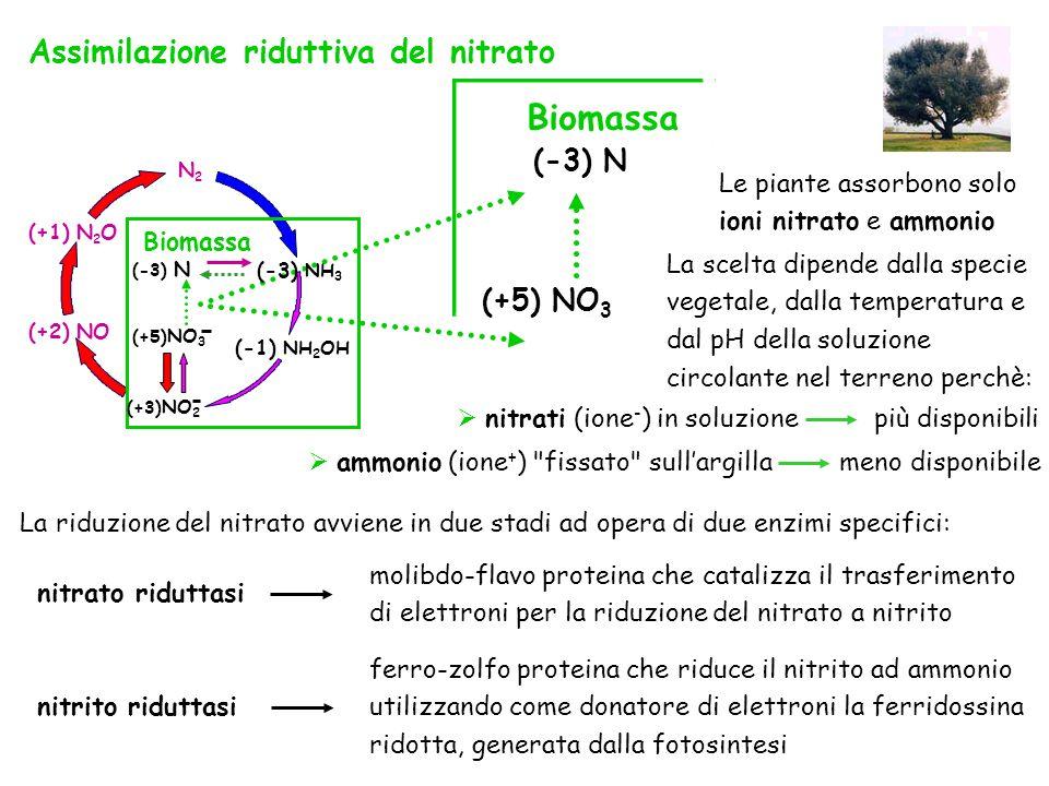 Biomassa (-3) N (+5) NO 3 (+1) N 2 O (+2) NO N2N2 Biomassa (-3) N (-3) NH 3 (+3) NO 2 (+5) NO 3 (-1) NH 2 OH Assimilazione riduttiva del nitrato La sc