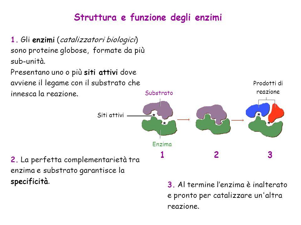 Struttura e funzione degli enzimi 1. Gli enzimi (catalizzatori biologici) sono proteine globose, formate da più sub-unità. Presentano uno o più siti a