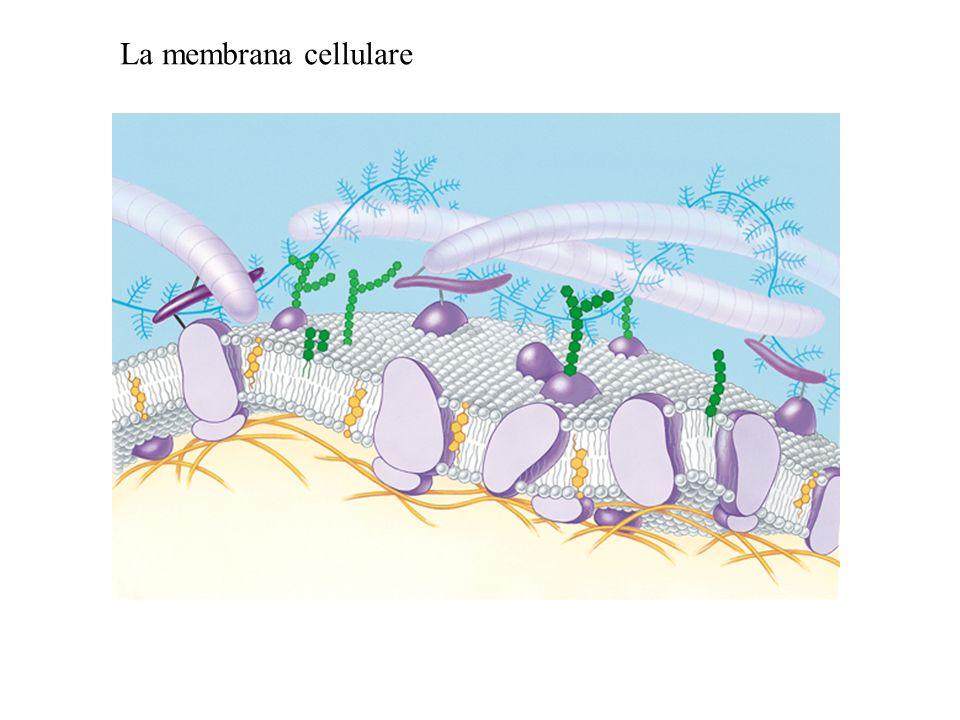 Un potenziale di membrana si origina quando cè una differenza nelle cariche elettriche tra un lato e laltro della membrana