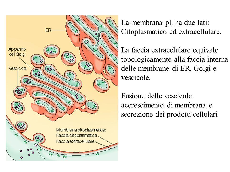 La membrana pl. ha due lati: Citoplasmatico ed extracellulare. La faccia extracelulare equivale topologicamente alla faccia interna delle membrane di