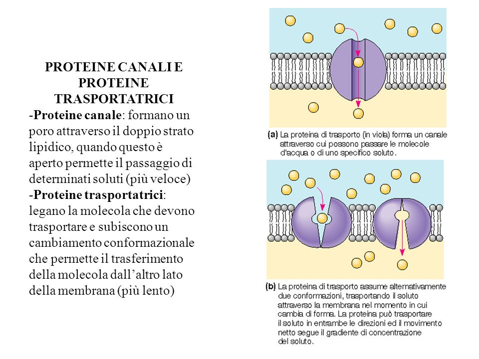 PROTEINE CANALI E PROTEINE TRASPORTATRICI -Proteine canale: formano un poro attraverso il doppio strato lipidico, quando questo è aperto permette il p