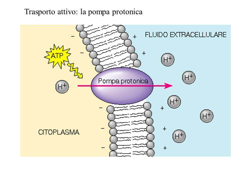 Trasporto attivo: la pompa protonica