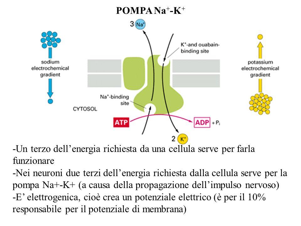 POMPA Na + -K + -Un terzo dellenergia richiesta da una cellula serve per farla funzionare -Nei neuroni due terzi dellenergia richiesta dalla cellula s