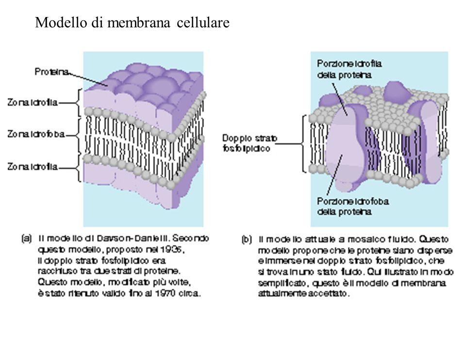 Trasporto attivo: la pompa Na + -K + è una ATPasi -La concentrazione di K+ è 10-20 volte più elevata nella cellula rispetto allambiente esterno -La concentrazione di Na+ è 10-20 volte più elevata allesterno della cellula