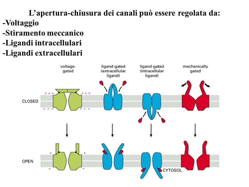 Lapertura-chiusura dei canali può essere regolata da: -Voltaggio -Stiramento meccanico -Ligandi intracellulari -Ligandi extracellulari