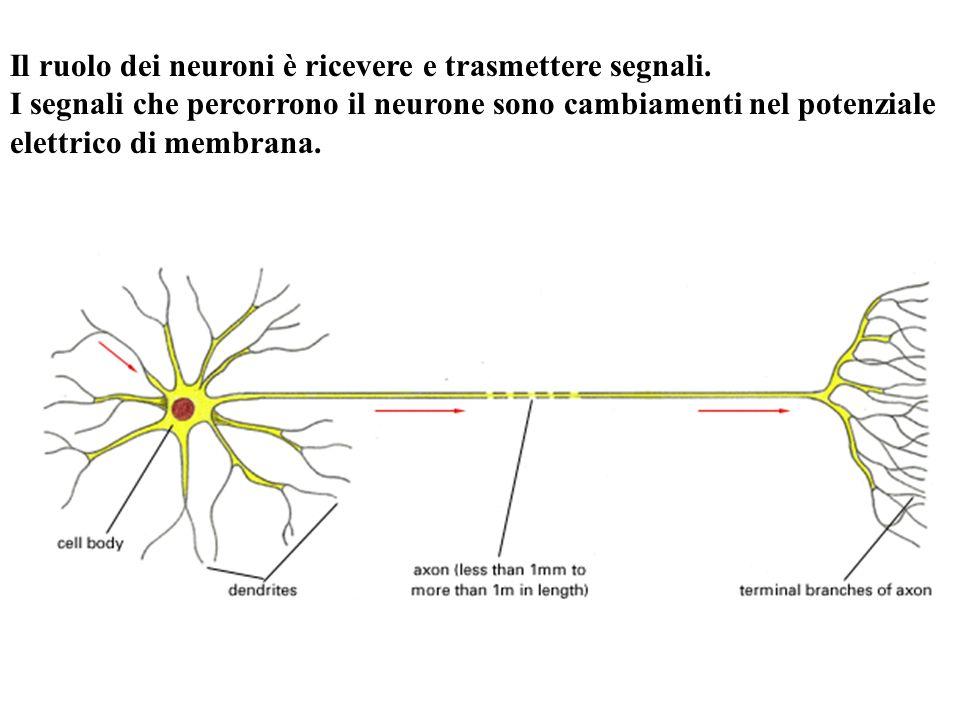 Il ruolo dei neuroni è ricevere e trasmettere segnali. I segnali che percorrono il neurone sono cambiamenti nel potenziale elettrico di membrana.