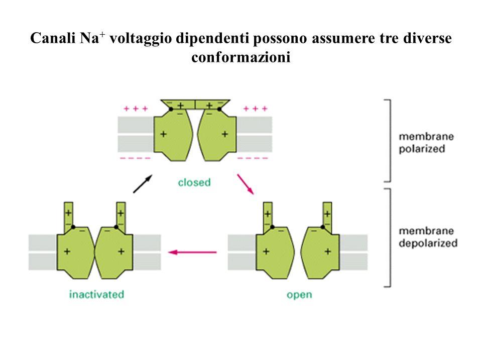 Canali Na + voltaggio dipendenti possono assumere tre diverse conformazioni