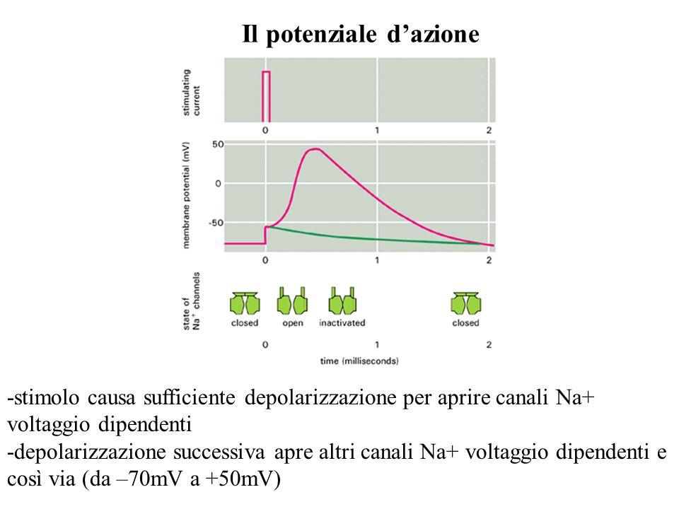 Il potenziale dazione -stimolo causa sufficiente depolarizzazione per aprire canali Na+ voltaggio dipendenti -depolarizzazione successiva apre altri c