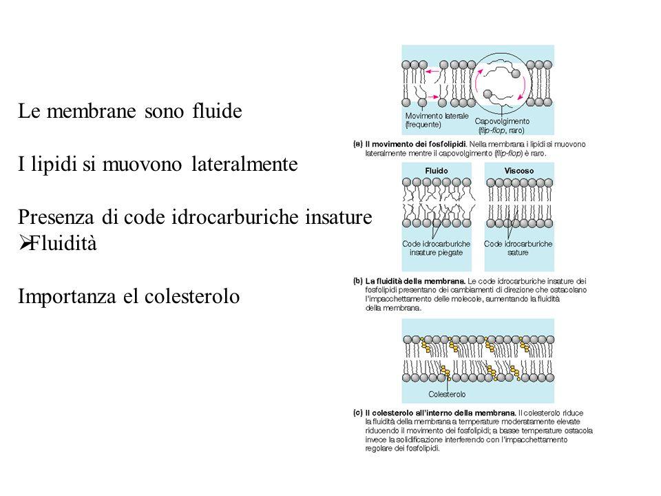 Le membrane sono fluide I lipidi si muovono lateralmente Presenza di code idrocarburiche insature Fluidità Importanza el colesterolo