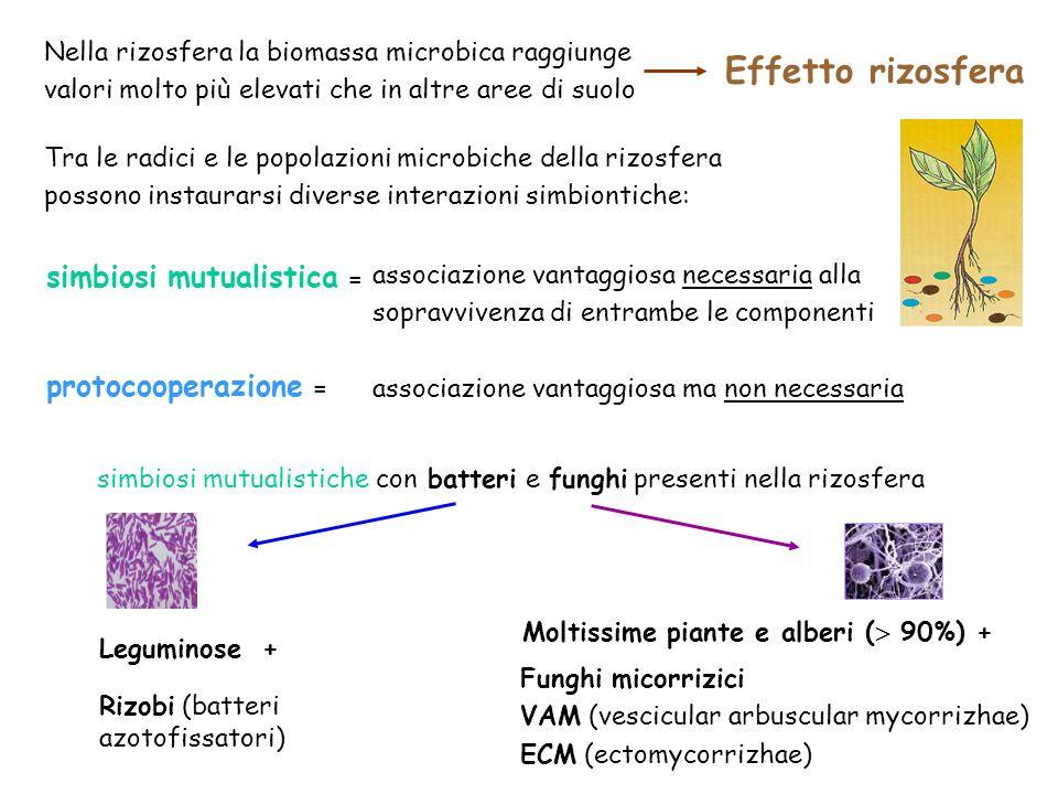 Nella rizosfera la biomassa microbica raggiunge valori molto più elevati che in altre aree di suolo Tra le radici e le popolazioni microbiche della ri