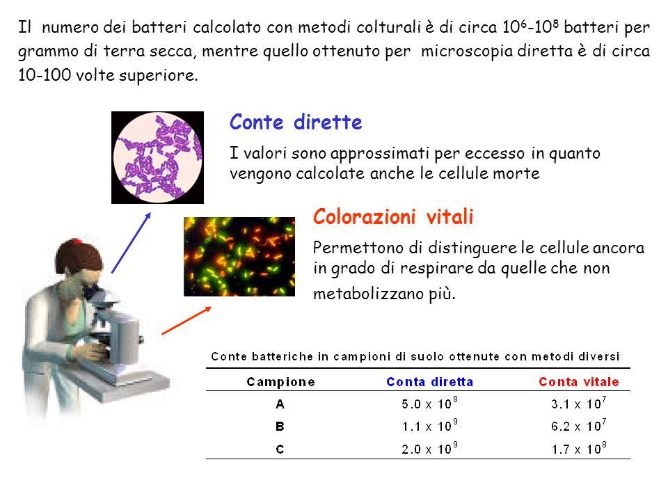 Il numero dei batteri calcolato con metodi colturali è di circa 10 6
