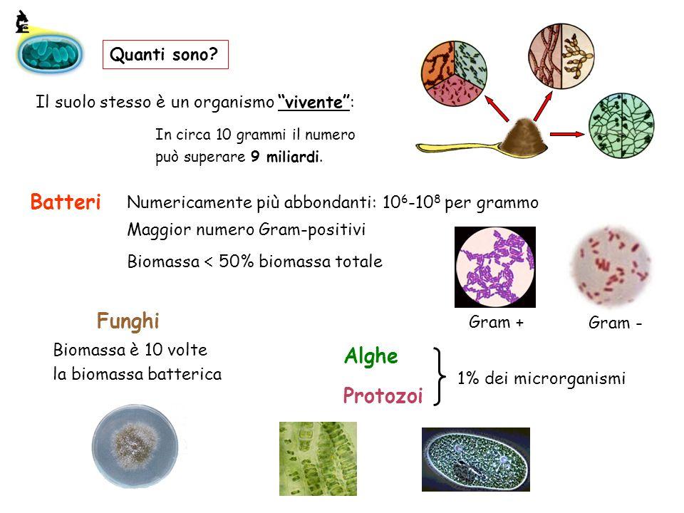 Quanti sono? Batteri Biomassa 50% biomassa totale Alghe Protozoi 1% dei microrganismi Il suolo stesso è un organismo vivente: In circa 10 grammi il nu