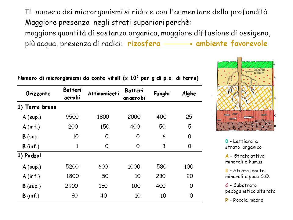Il numero dei microrganismi si riduce con l'aumentare della profondità. Maggiore presenza negli strati superiori perchè: maggiore quantità di sostanza
