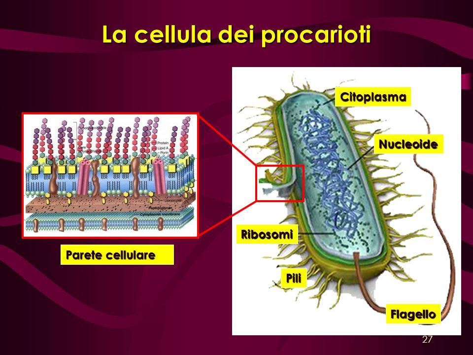 La cellula dei procarioti Citoplasma Nucleoide Flagello Pili Ribosomi Parete cellulare 27