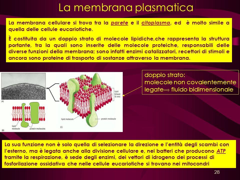 La membrana plasmatica doppio strato: molecole non covalentemente legate fluido bidimensionale La sua funzione non è solo quella di selezionare la dir