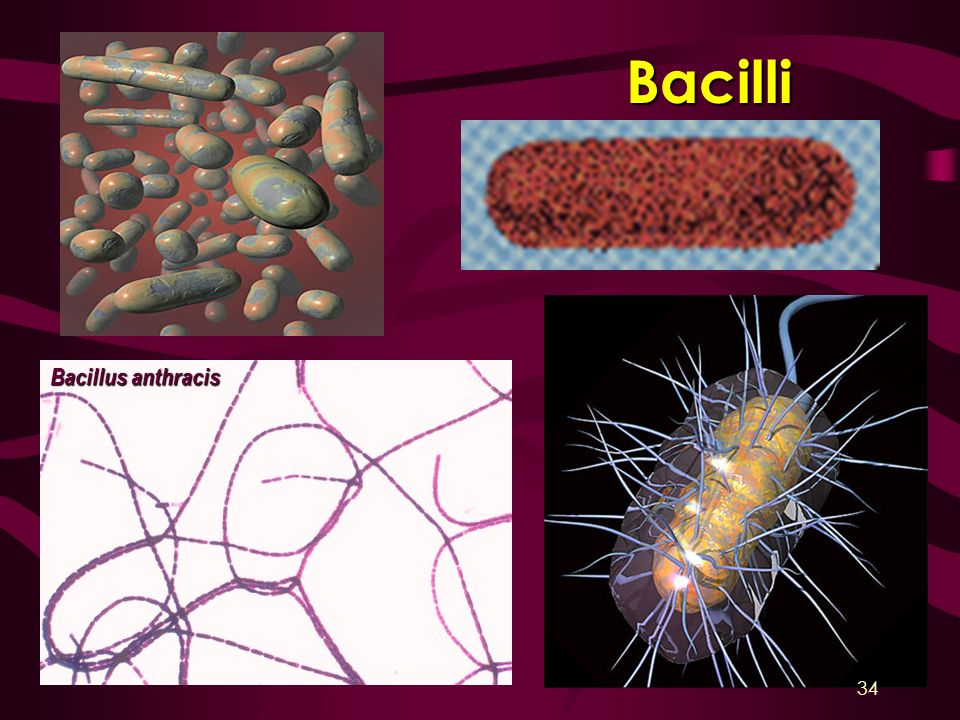 Bacilli Bacillus anthracis 34