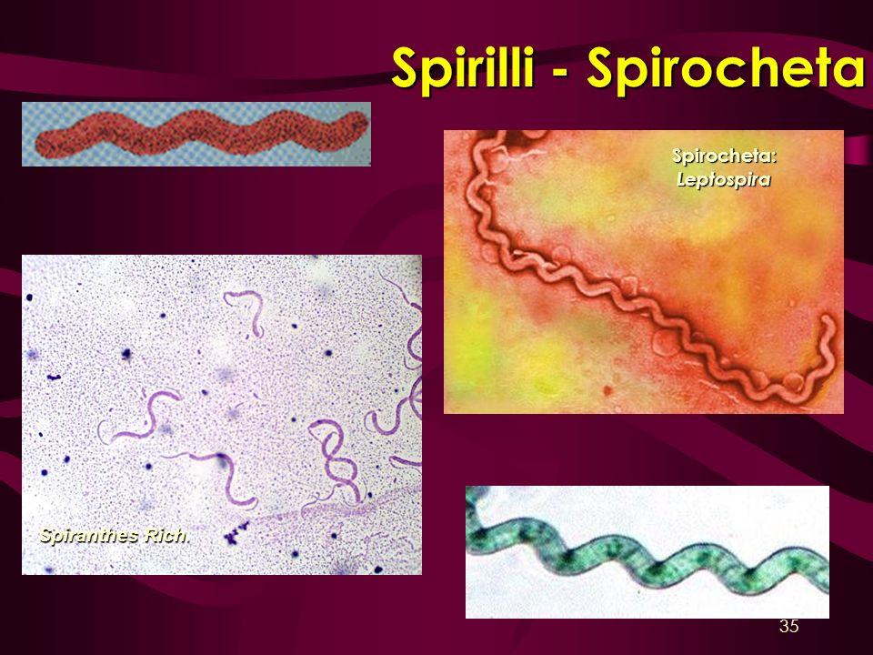Spirilli - Spirocheta Spirocheta:Leptospira Spiranthes Rich. 35