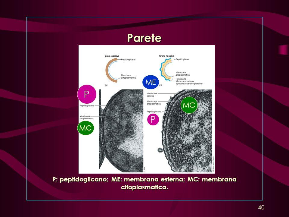 Parete P: peptidoglicano; ME: membrana esterna; MC: membrana citoplasmatica. P P MC ME 40