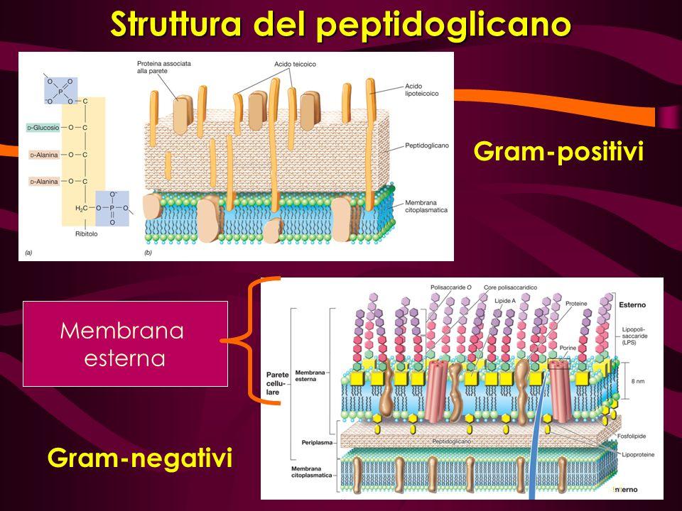 Struttura del peptidoglicano Gram-positivi Gram-negativi Membrana esterna 41