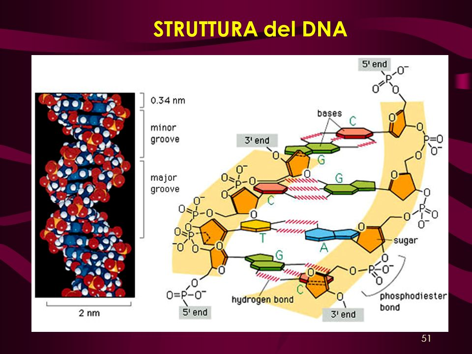 STRUTTURA del DNA 51