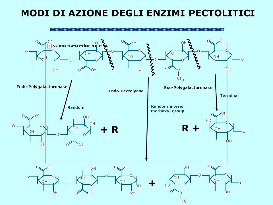 MODI DI AZIONE DEGLI ENZIMI PECTOLITICI + R R + + Endo-Polygalacturonase Random Endo-Pectolyase Random interior methoxyl group Exo-Polygalacturonase Terminal