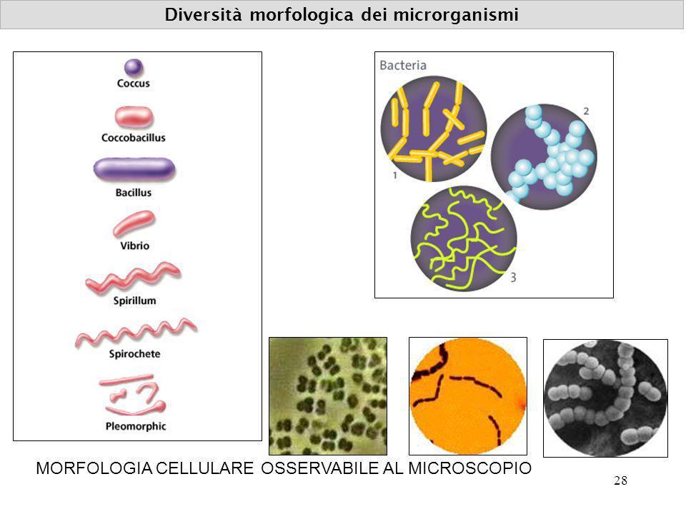 Diversità morfologica dei microrganismi MORFOLOGIA CELLULARE OSSERVABILE AL MICROSCOPIO 28