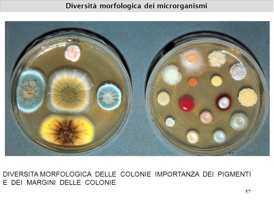 Diversità morfologica dei microrganismi DIVERSITA MORFOLOGICA DELLE COLONIE IMPORTANZA DEI PIGMENTI E DEI MARGINI DELLE COLONIE 57