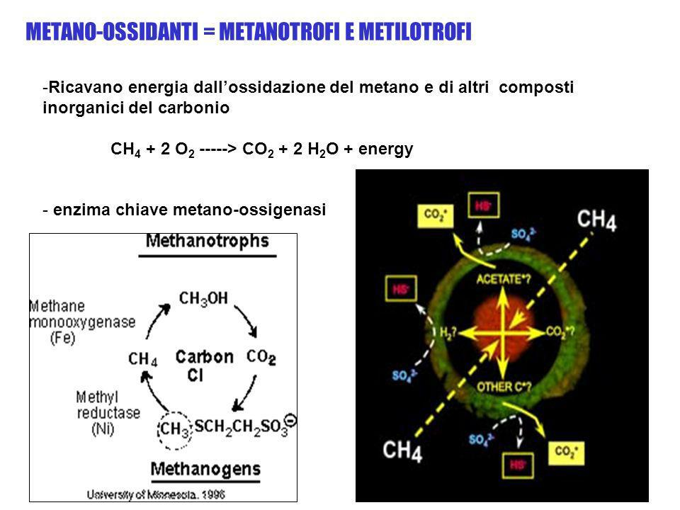 METANO-OSSIDANTI = METANOTROFI E METILOTROFI -Ricavano energia dallossidazione del metano e di altri composti inorganici del carbonio CH 4 + 2 O 2 ---