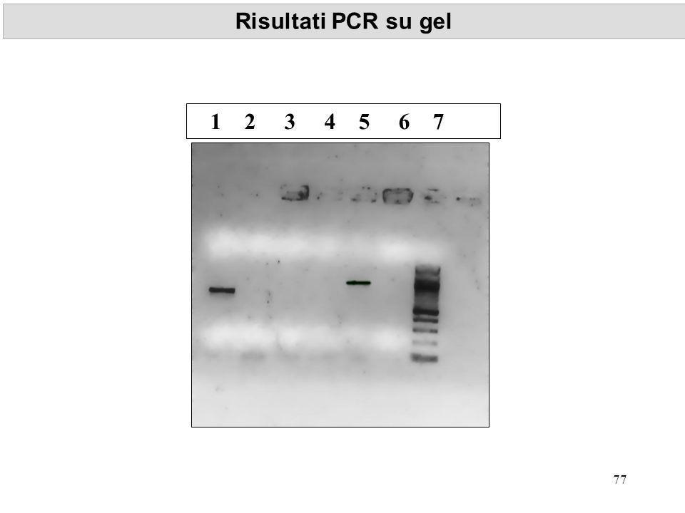 Risultati PCR su gel 1 2 3 4 5 6 7 77