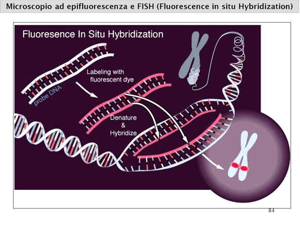 Microscopio ad epifluorescenza e FISH (Fluorescence in situ Hybridization) 84
