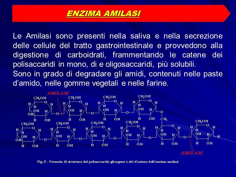ENZIMA AMILASI Le Amilasi sono presenti nella saliva e nella secrezione delle cellule del tratto gastrointestinale e provvedono alla digestione di car