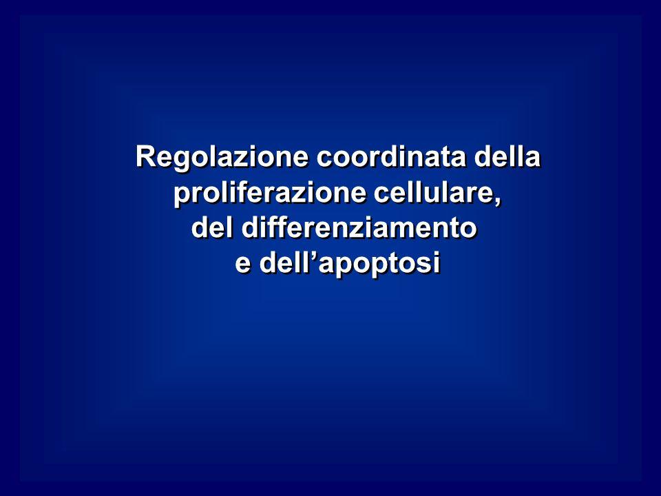 Regolazione coordinata della proliferazione cellulare, del differenziamento e dellapoptosi Regolazione coordinata della proliferazione cellulare, del