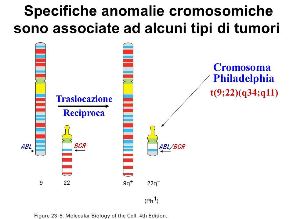 Traslocazione Reciproca Specifiche anomalie cromosomiche sono associate ad alcuni tipi di tumori Cromosoma Philadelphia t(9;22)(q34;q11) ABL BCR ABL/B