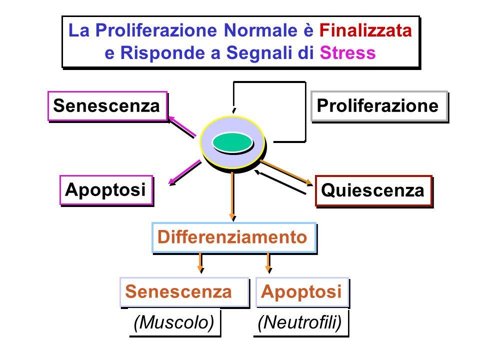 La Proliferazione Normale è Finalizzata e Risponde a Segnali di Stress La Proliferazione Normale è Finalizzata e Risponde a Segnali di Stress Prolifer