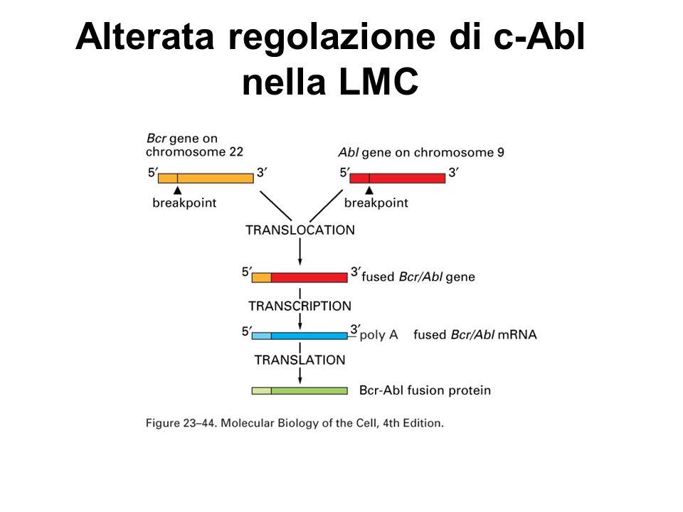 Alterata regolazione di c-Abl nella LMC