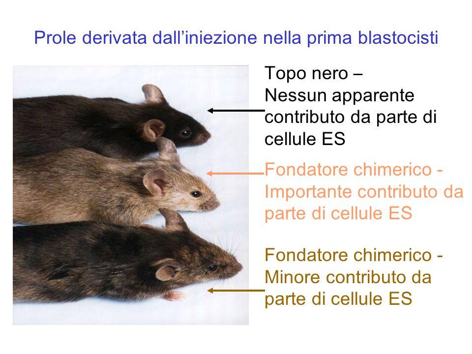 Topo nero – Nessun apparente contributo da parte di cellule ES Fondatore chimerico - Importante contributo da parte di cellule ES Fondatore chimerico