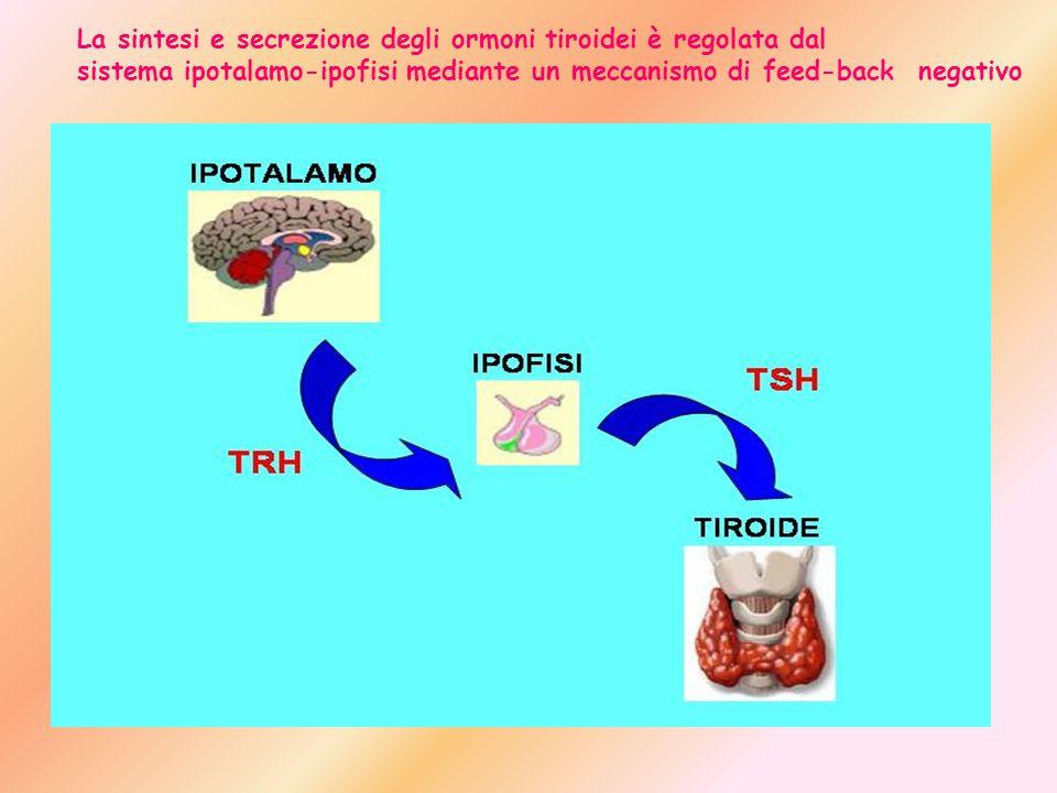 La sintesi e secrezione degli ormoni tiroidei è regolata dal sistema ipotalamo-ipofisi mediante un meccanismo di feed-back negativo
