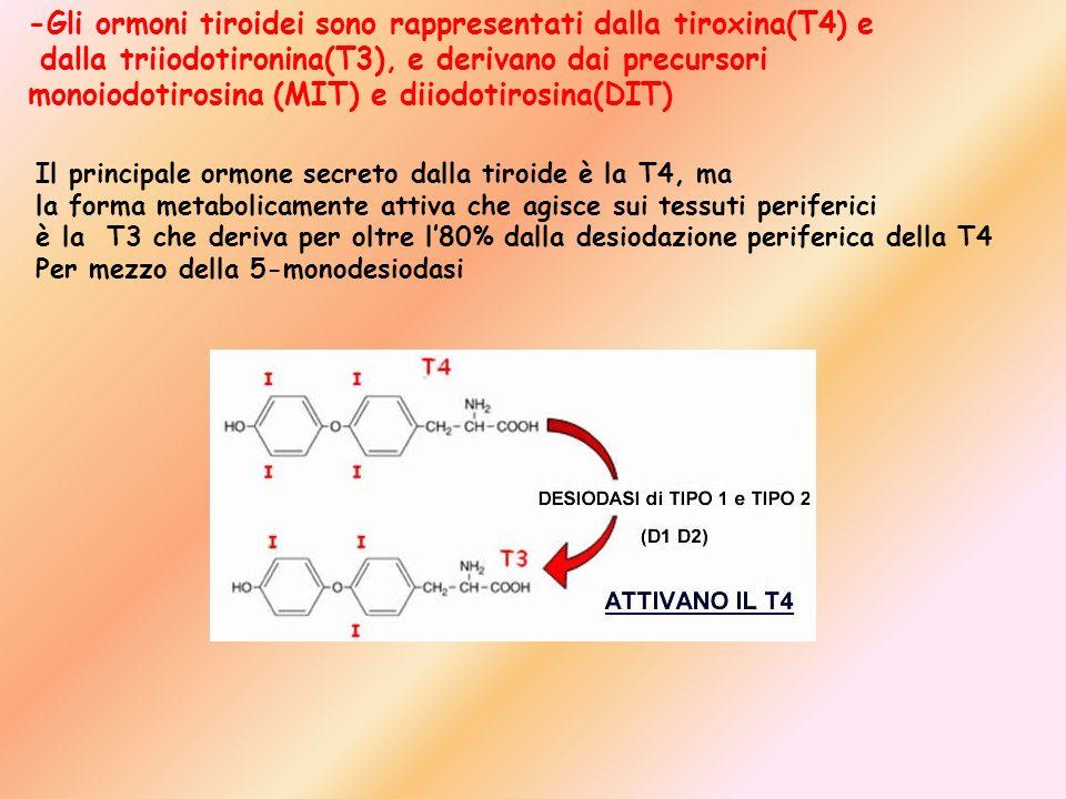 -Gli ormoni tiroidei sono rappresentati dalla tiroxina(T4) e dalla triiodotironina(T3), e derivano dai precursori monoiodotirosina (MIT) e diiodotiros
