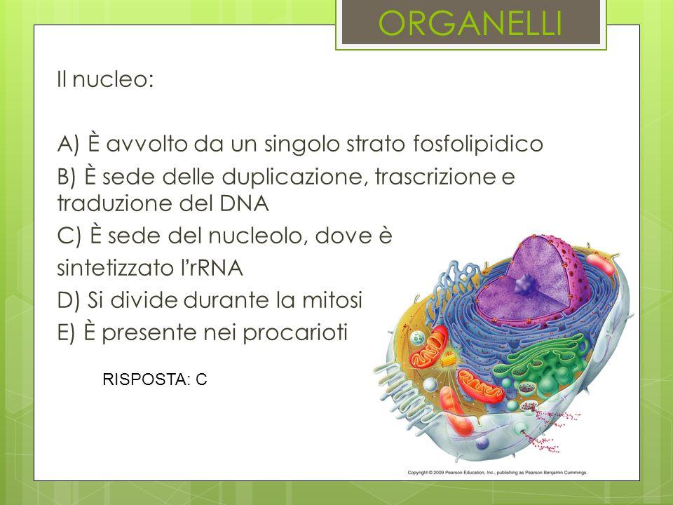 ORGANELLI Il nucleo: A) È avvolto da un singolo strato fosfolipidico B) È sede delle duplicazione, trascrizione e traduzione del DNA C) È sede del nuc