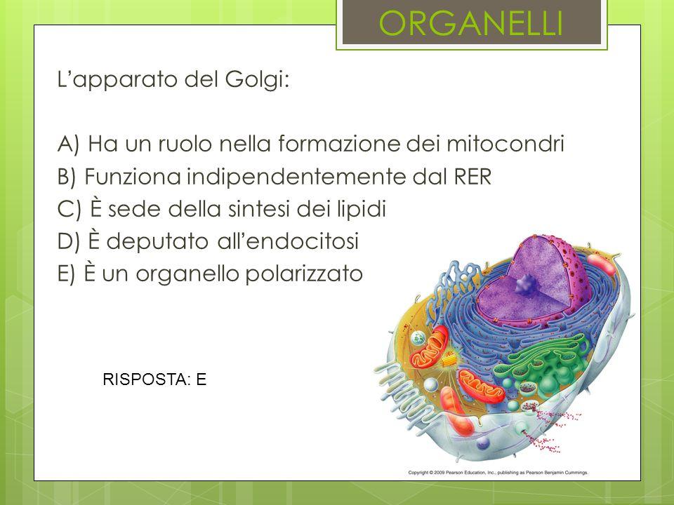 ORGANELLI Lapparato del Golgi: A) Ha un ruolo nella formazione dei mitocondri B) Funziona indipendentemente dal RER C) È sede della sintesi dei lipidi